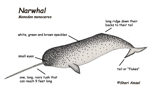This picture shows and tells in detail about Narwhals.