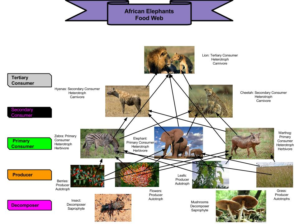 african elephant food chain diagram dayton gear motor wiring web