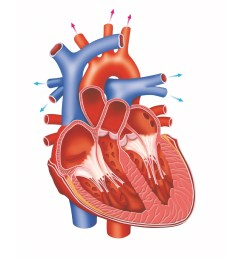 heart diagram [ 942 x 942 Pixel ]