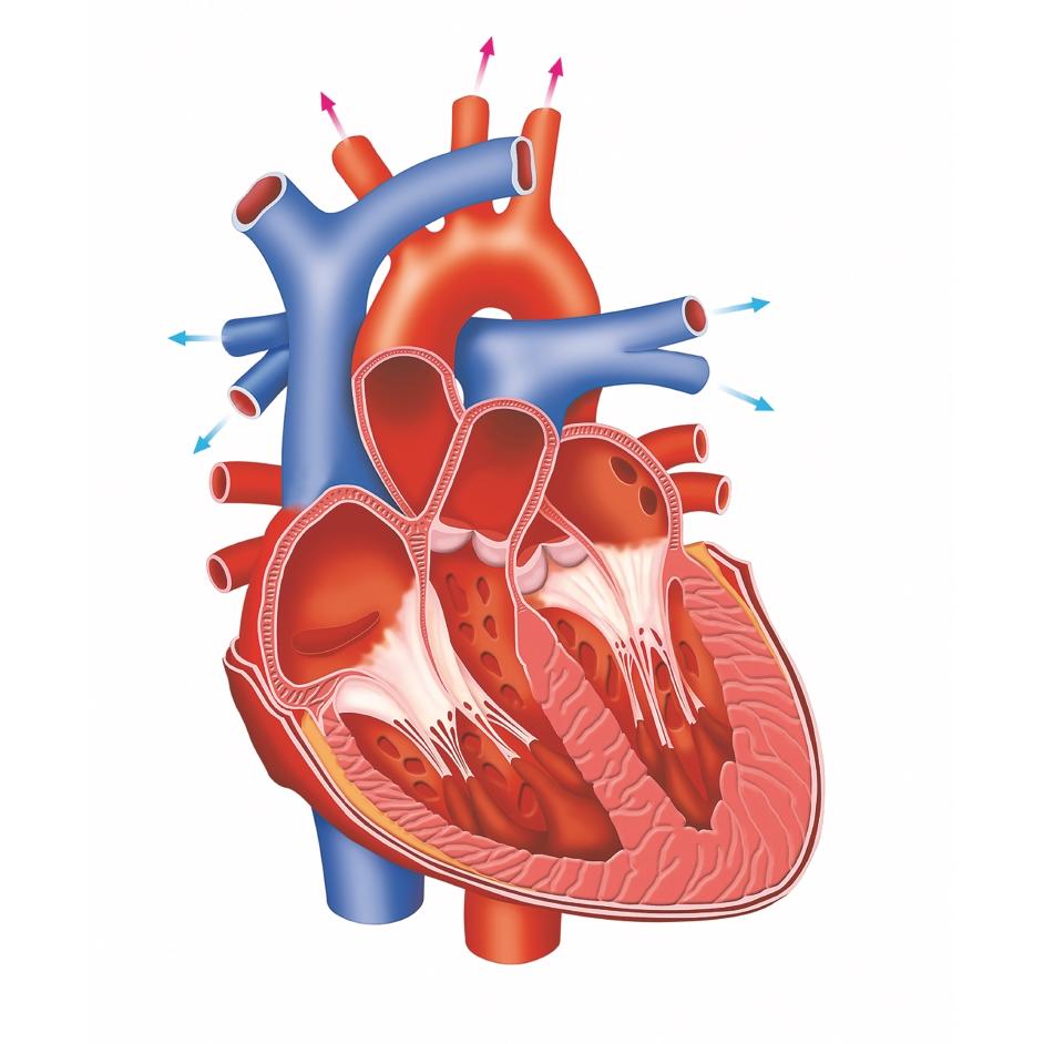 hight resolution of heart diagram