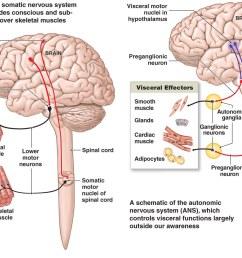 nervou system diagram full neorn [ 1402 x 973 Pixel ]