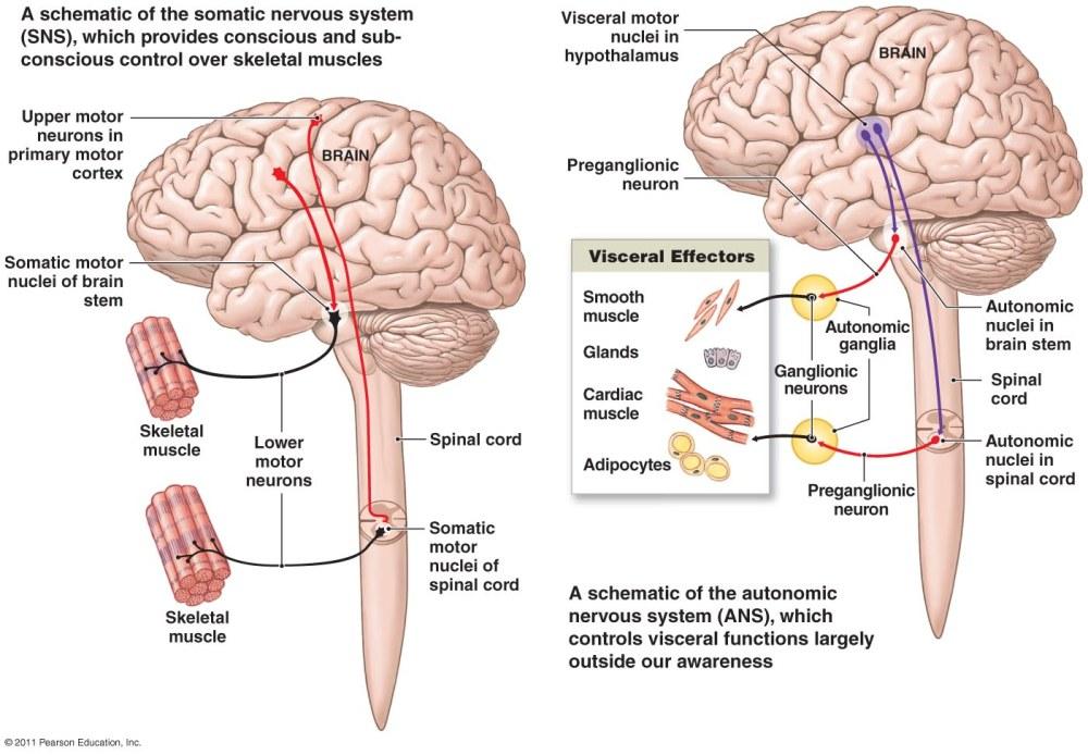 medium resolution of nervou system diagram full neorn