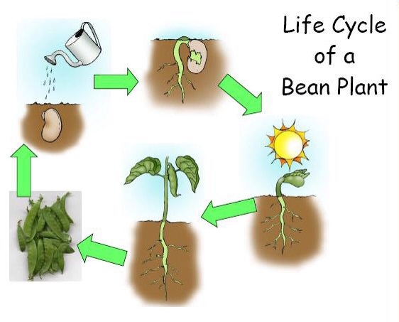 sunflower plant life cycle diagram bedford tj wiring seed sprouting www toyskids co bean dicot