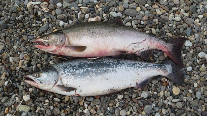 Какая горбуша вкуснее самка или самец. Промысловая рыба