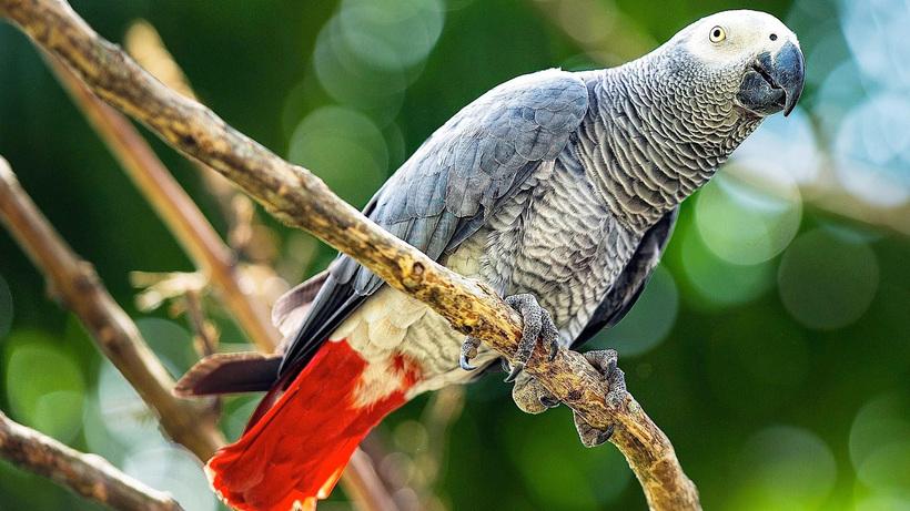 Попугай жако — самый умный «говорун» среди всех попугаев планеты