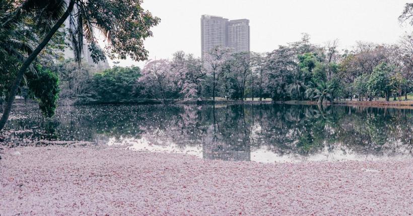 Бангкок в розовом цвете: в тайском парке зацвели деревья потрясающей красоты