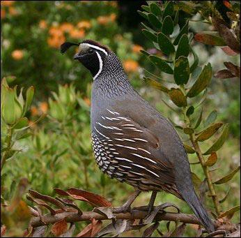raising quail, small-scale quail farming, popular quail breeds, Japanese quail, Bobwhite quail, homesteading