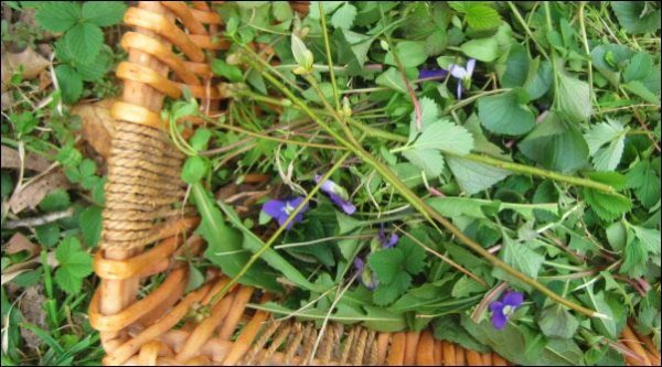 foraging wild greens for wildcrafted tea and wild greens fritters