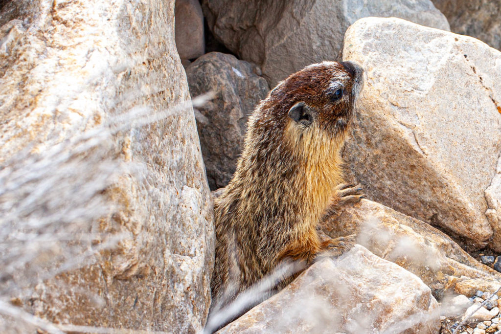 Marmot at Great Basin National Park