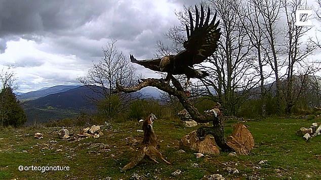 El fotógrafo de vida salvaje Guillermo Arteaga, de 36 años, capturó la interacción única en Ávila, España.
