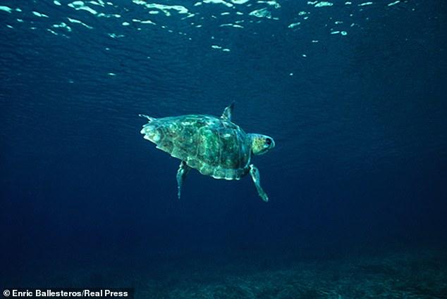 La contaminación está afectando a los marinos a nivel químico, han confirmado los científicos, después de encontrar altas concentraciones de plástico en los músculos de las tortugas bobas (como en la foto).