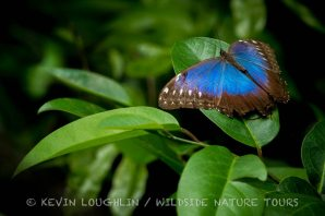 Blue-Morpho-Honduras-3