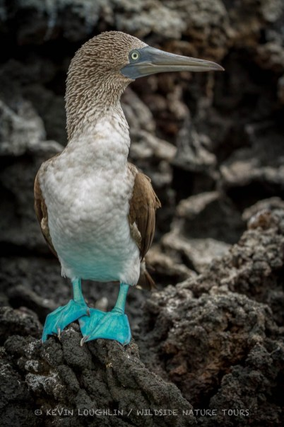 Blue-footed-Booby-Galapagos-4