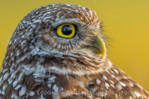 Burrowing-Owl-Florida-1
