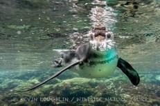 Galapagos-Penguin-Galapagos-8
