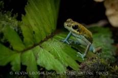 Ooophaha-Pumilio-Poison-Frog-Panama-9