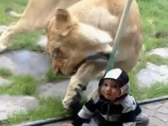 https://i0.wp.com/s3.vidimg.popscreen.com/original/6/NDcyODc1OTExMjQ=_o_lioness-tries-to-grab-baby-in-zebra-suit.jpg