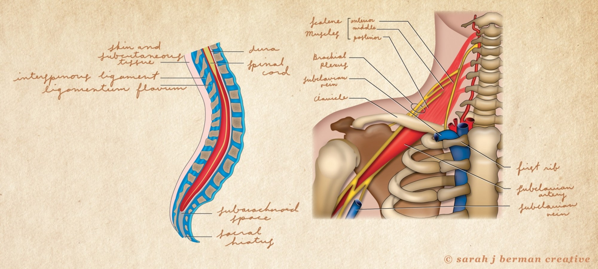 hight resolution of human ear diagram model