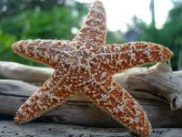 Sparkly Starfish Hair Accessory