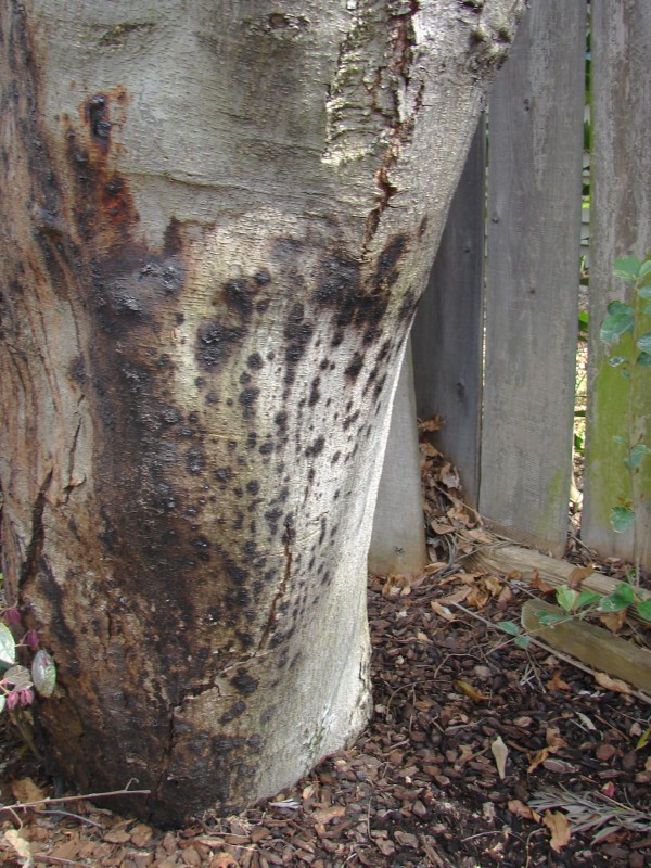 Phytophthora Root Disease And Canker Sudden Oak Death