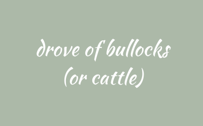 Bullocks in droves