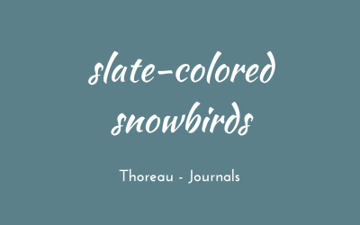 Slate-colored snowbirds