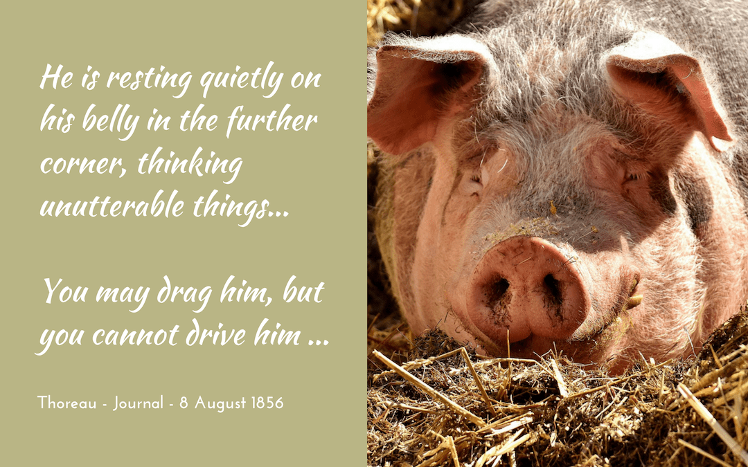 The thoughts of a pig
