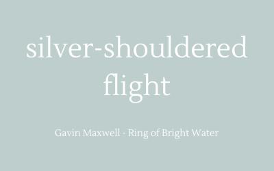 Silver-shouldered flight