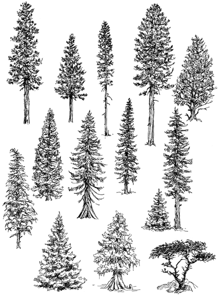 Pine Tree Line Drawing : drawing, Trees:, Conifers, Landscape, Drawing, Artist, Claudia