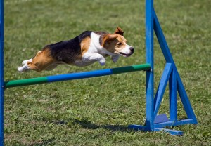 Dog obstacle course