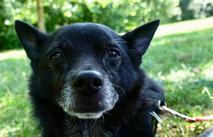 Pepito the senior dog outside in the grass