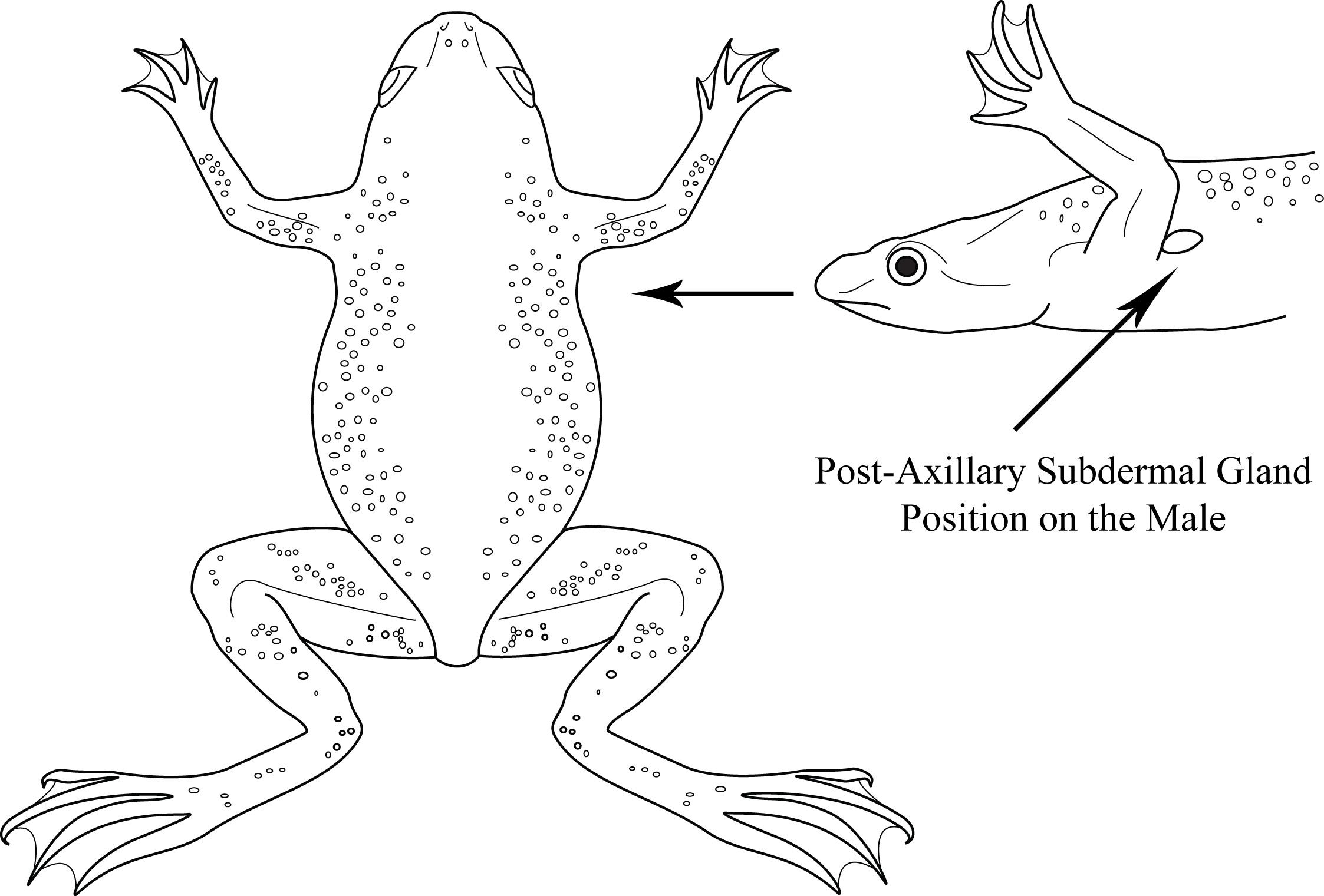 Aquatic Frog Diagrams by Sara Jennings at Coroflot.com