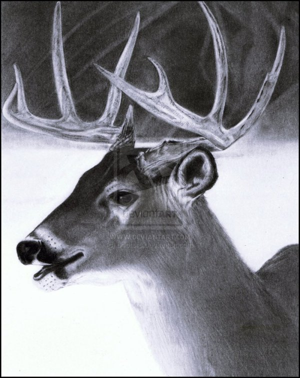 Pencil Drawings Of Animals Debbie Engel