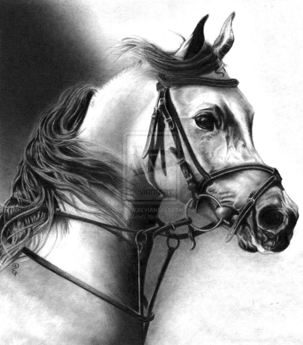 Pencil Drawings Of Animals Debbie Engel
