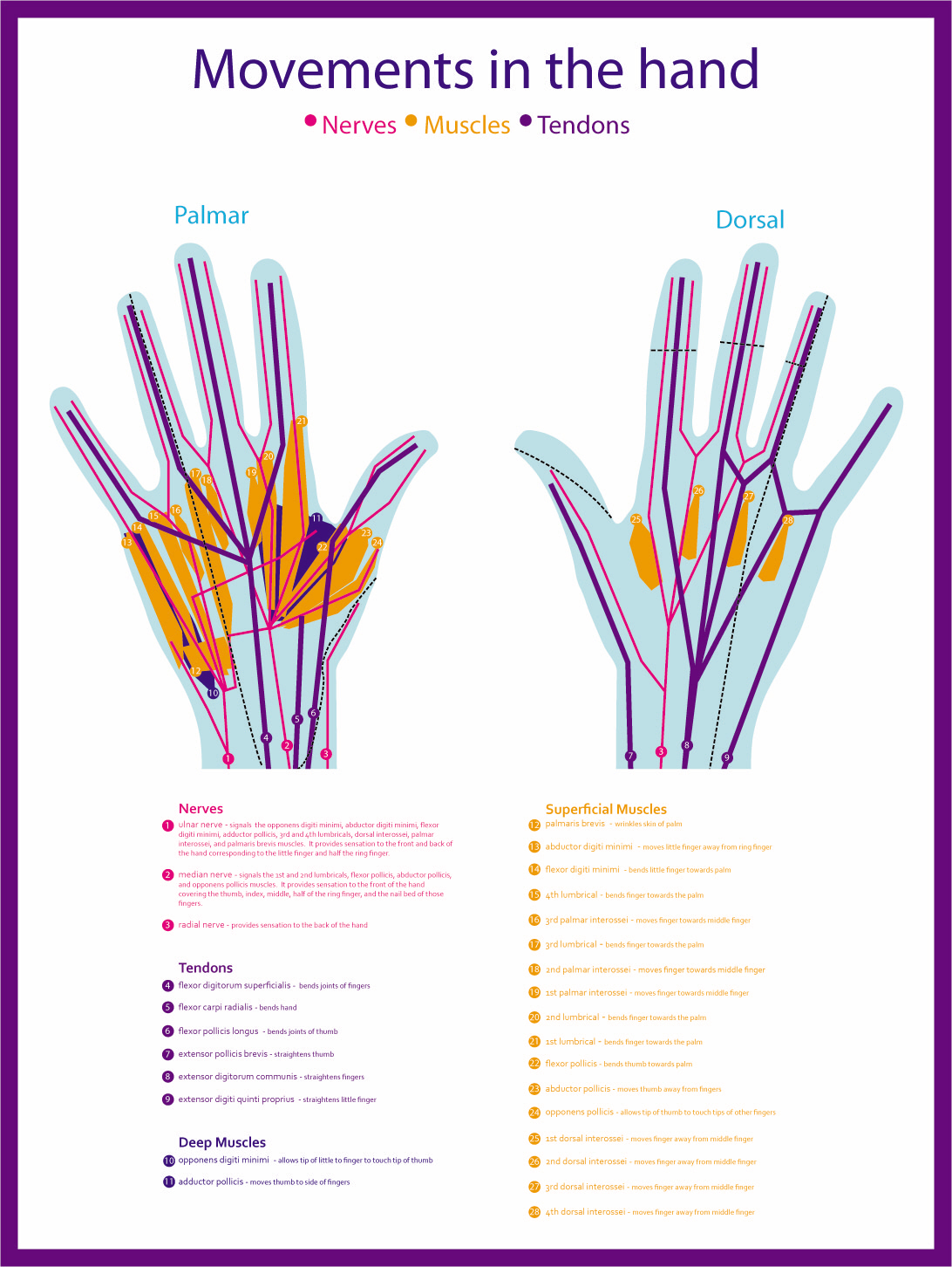 hand nerves diagram brown bear pictures to pin on pinterest pinsdaddy