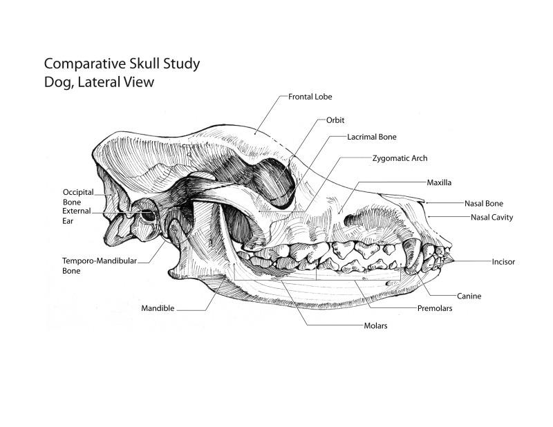 horse skeleton diagram blank zero turn mower parts scientific illustrations by michael salvador at coroflot.com