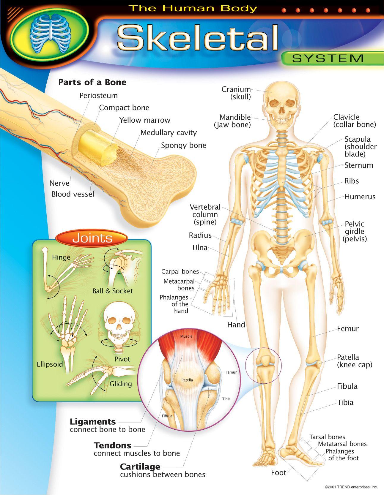 Antropolojispot Skelet Sistemi Posterleri
