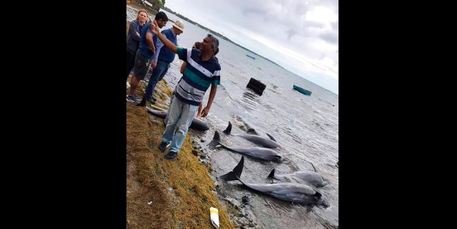 17 dead dolphins wash up on Mauritius beach near oil spill site ...