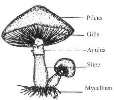 Can anyone show me the diagram of Agaricus sp with labels