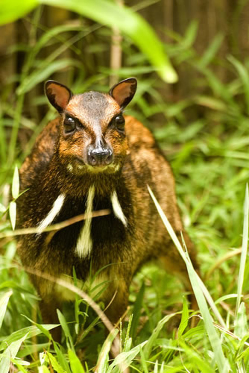 The Philippine Mouse Deer. Photo from philippine-adventures.com