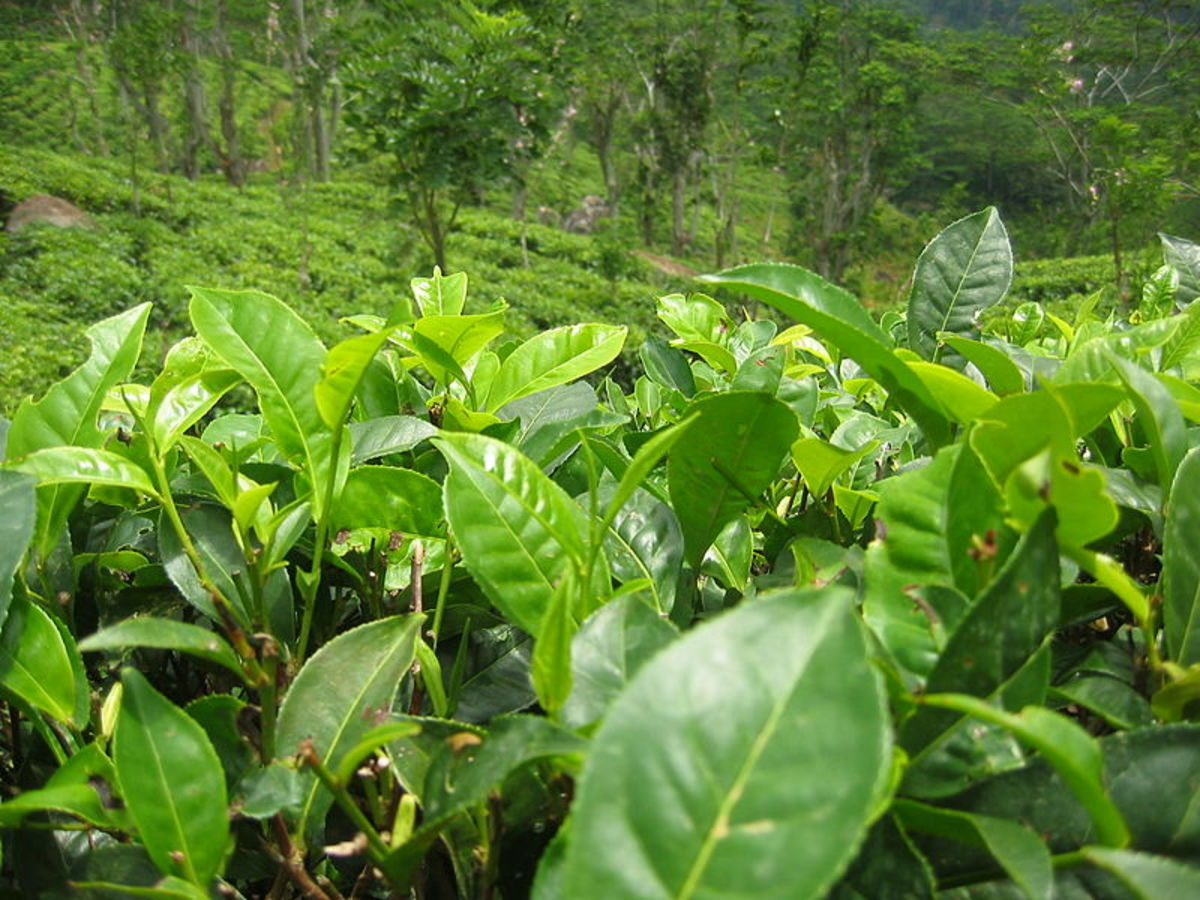 Japanese green tea has lower levels of fluoride than Chinese green tea due to fluoride levels in soil aborbed by the tea plant.