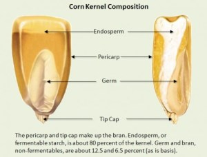 How Does Popcorn Pops? Parts and Structure of Corn Kernel