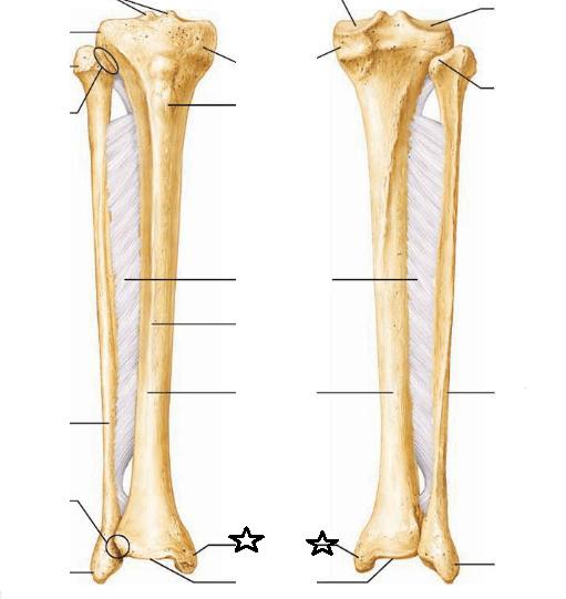 tibia and fibula blank diagram timeline template