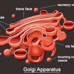 Golgi Apparatus Structure Diagram 2010 Bass Tracker Wiring Cell Analogy