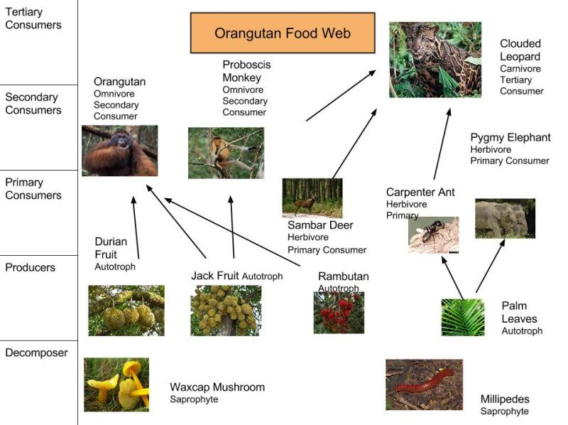 orangutan food chain