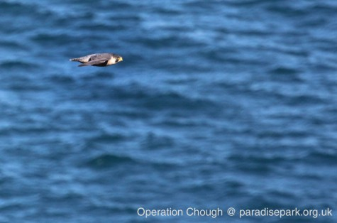 A Peregrine Falcon on patrol - a major hazard to the inexperienced.
