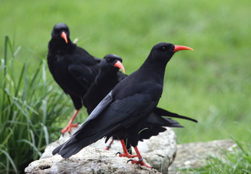 Three young choughs in the socialisation aviary at Paradise Park
