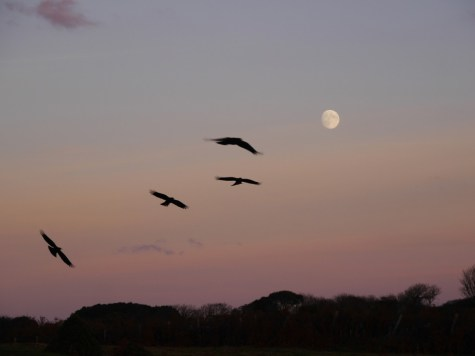 Choughs flying by moonlight (Liz Corry)