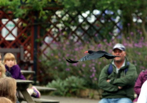 Piran in the Free-Flying Bird Show at Paradise Park (A Hales)