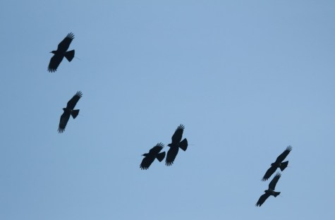 Six released choughs - note tracking aerials